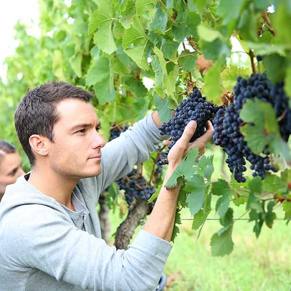 Viticulture – Enology