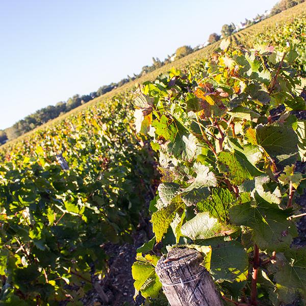 Master mention « Sciences de la vigne et du vin », parcours Management des entreprises vitivinicoles